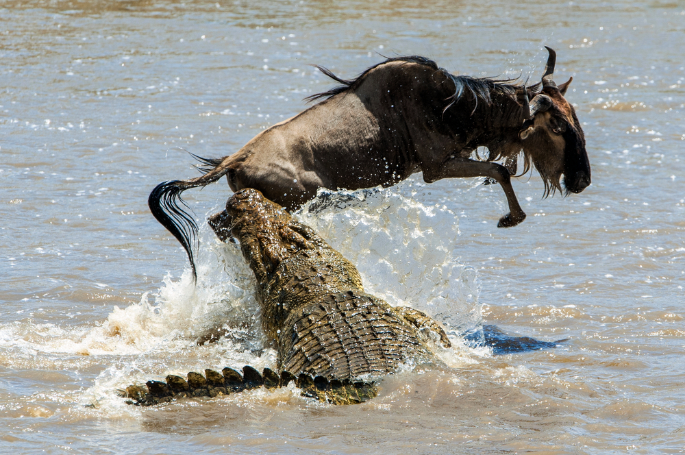 An Antelope - Blue Wildebeest crossing Mara River, Attached ny a Crocodile