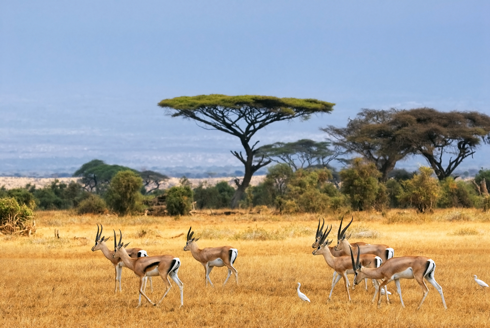 Gazelles in Scenic Landscape in Amboseli, Kenya