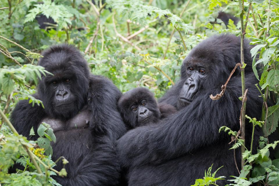 mountain-gorillas-rwanda