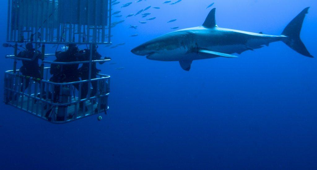 shark-cage-diving-gansbaai