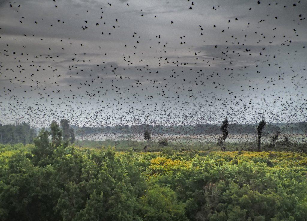 Reasons to visit Zambia | Kasanka National Park Bats migration